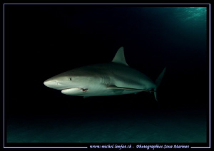 Reef Shark... :O)... by Michel Lonfat 